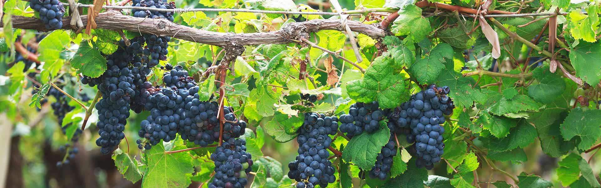 Weinkellerei Meraner Weingut Strehn