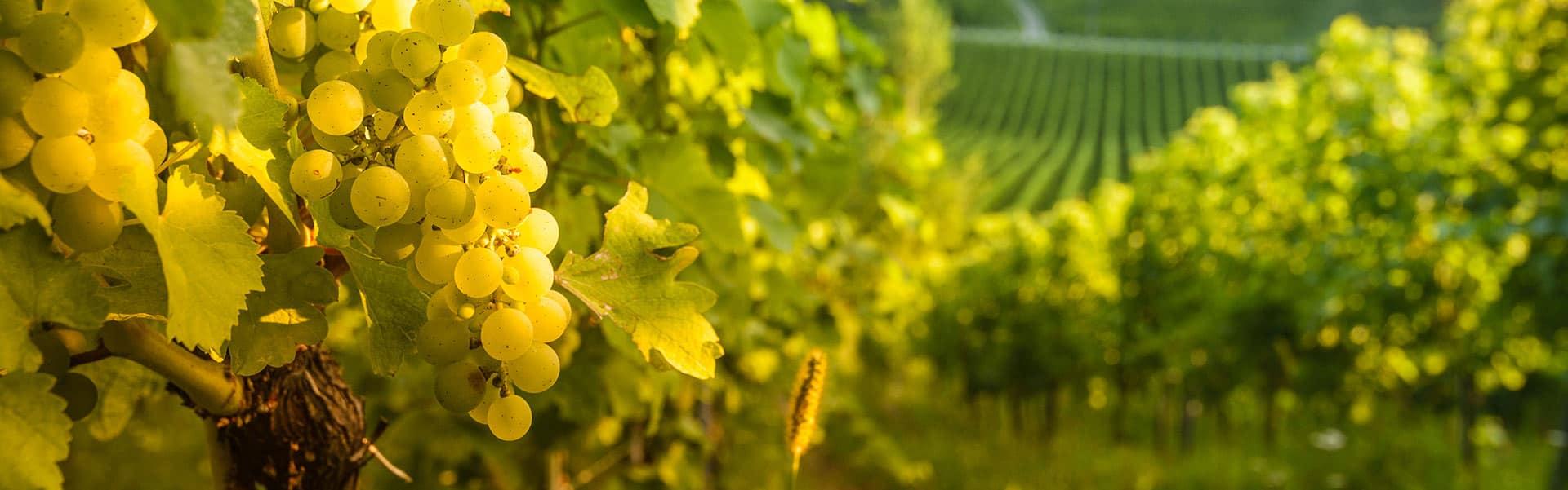 Weinkellerei Meraner Weingut Richard Stierschneider